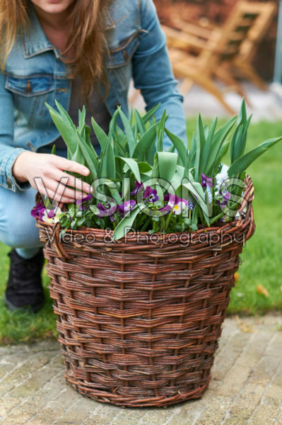 Pansies and tulips in basket