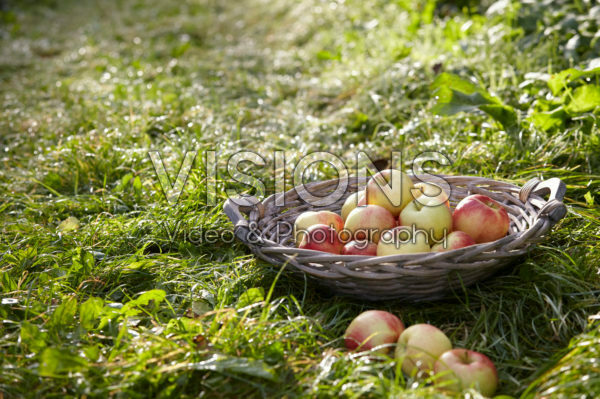 Picked apples in orchard