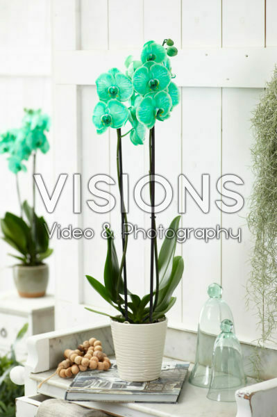 Phalaenopsis Colorchid Green