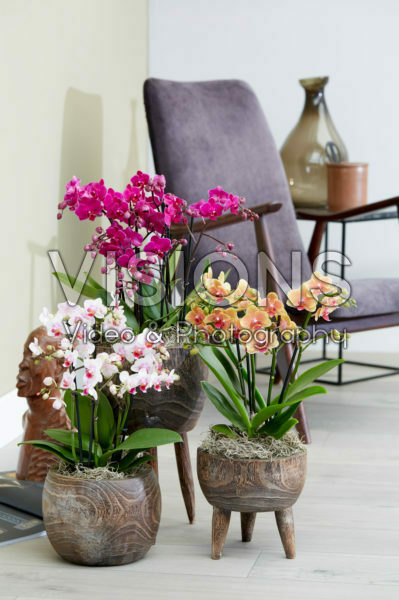 Phalaenopsis combination