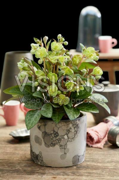 Helleborus lividus Lilac Marble