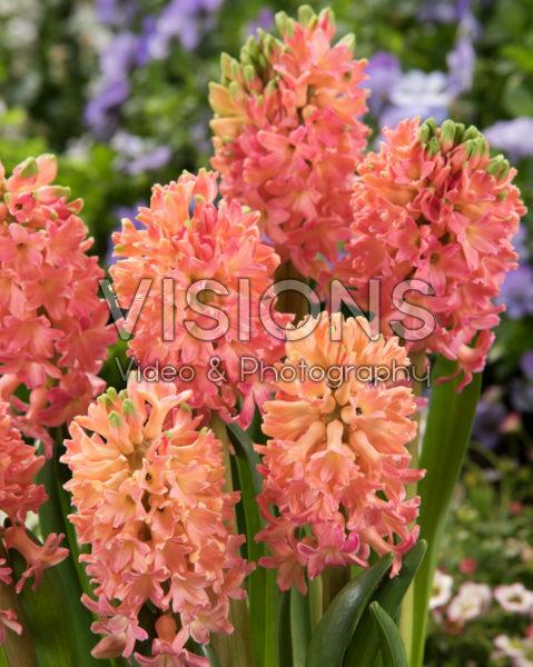 Hyacinthus Sweet Invitation