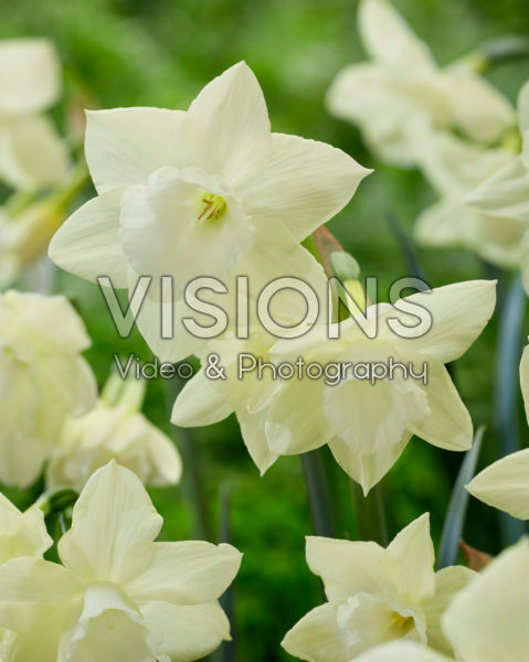 Narcissus Lemon Hunter
