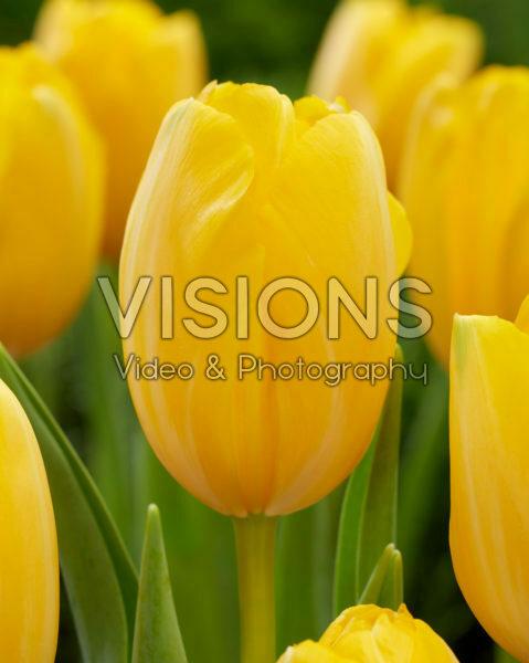 Tulipa Golden Prins Claus