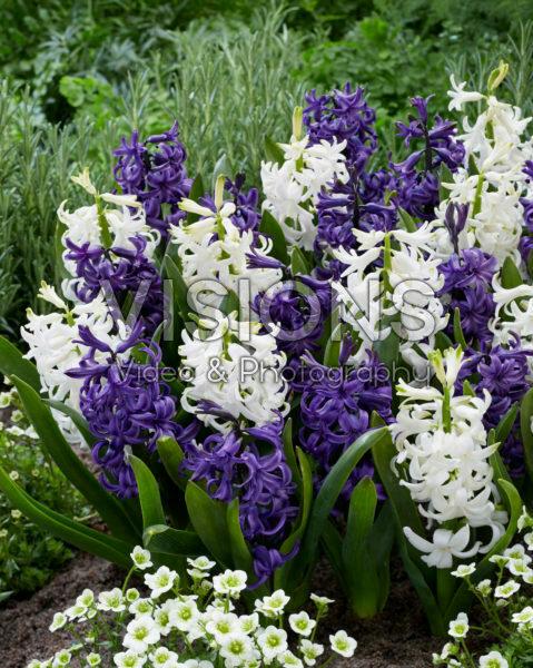Hyacinthus blauw en wit