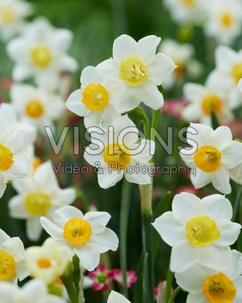 Narcissus Crevette