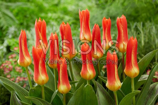 Tulipa Yaris Masson