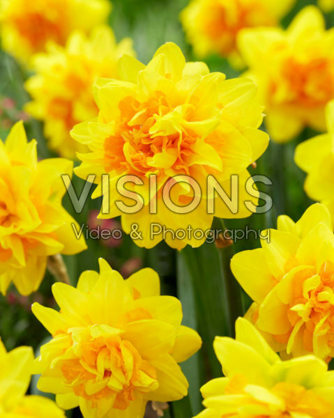 Narcissus Double Joy ®