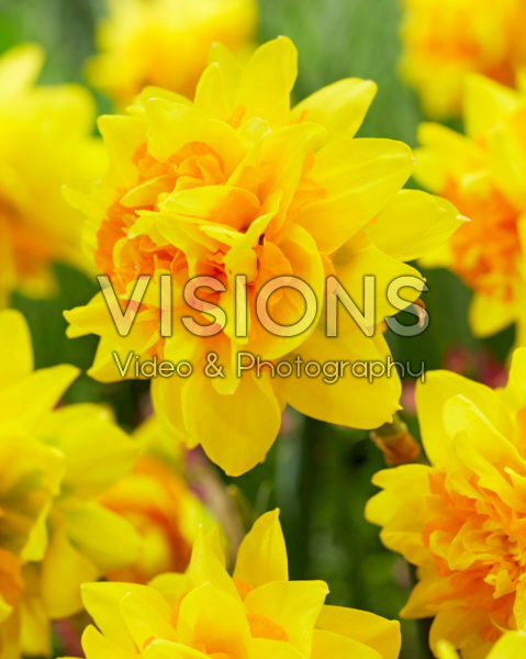 Narcissus Double Joy ®