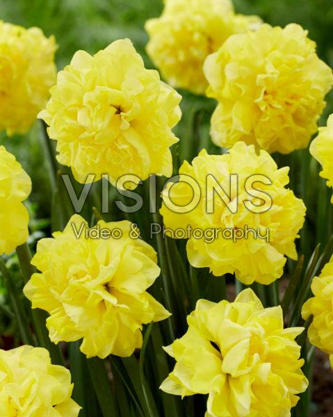 Narcissus N 08-00