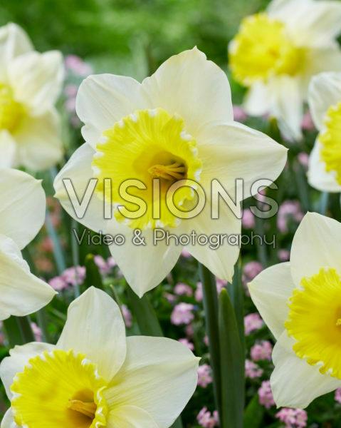 Narcissus 2W-YW