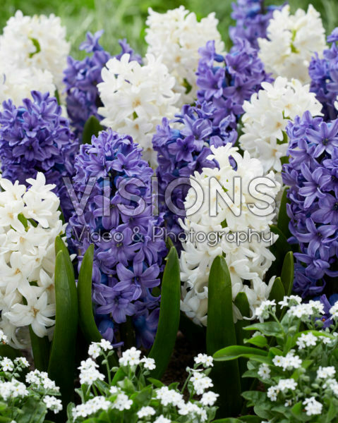 Hyacinthus blue and white