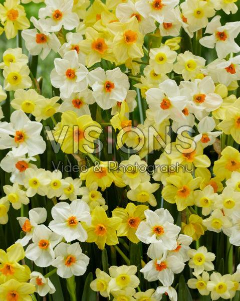 Narcissus Hugh Town, Geranium, Minnow