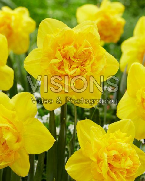 Narcissus Gold Mine