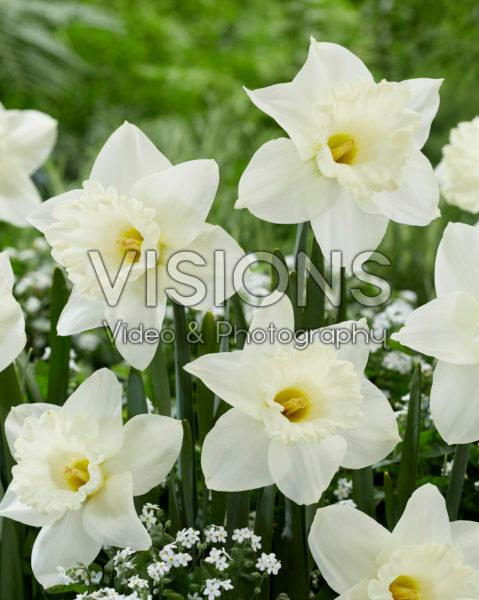 Narcissus N 00-209