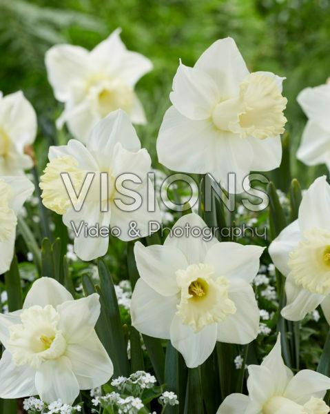 Narcissus N 01-19