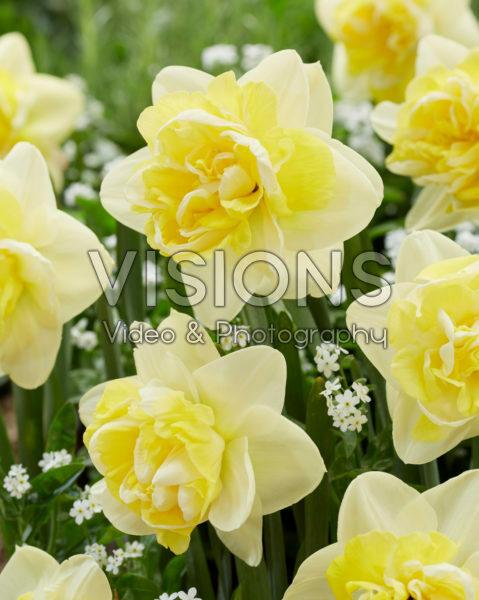 Narcissus Bonaire