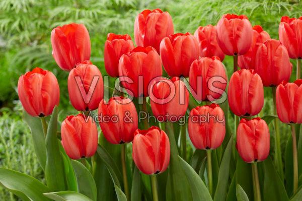 Tulipa Red Impression