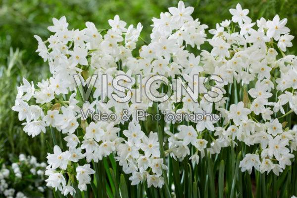 Narcissus Paper White