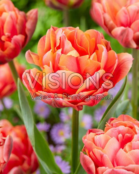 Tulipa Zoe