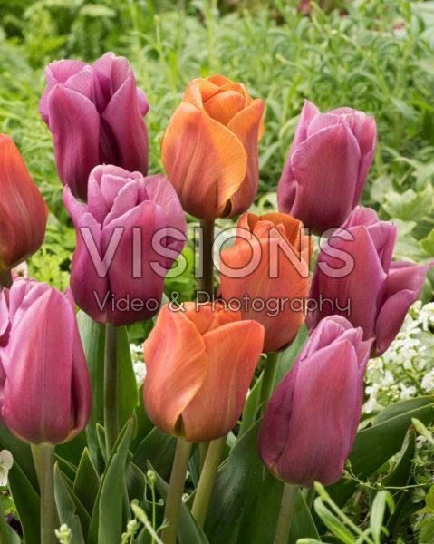 Tulipa Brown Sugar, Copex