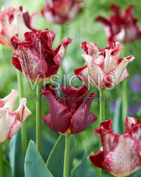 Tulipa Striped Crown