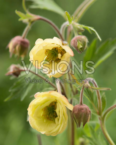 Geum Censation™ Two Tone Pearl