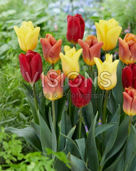Tulipa Flight mix