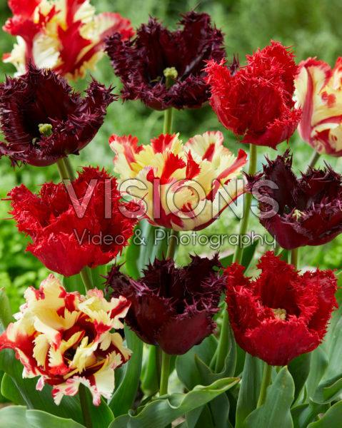Tulipa mix