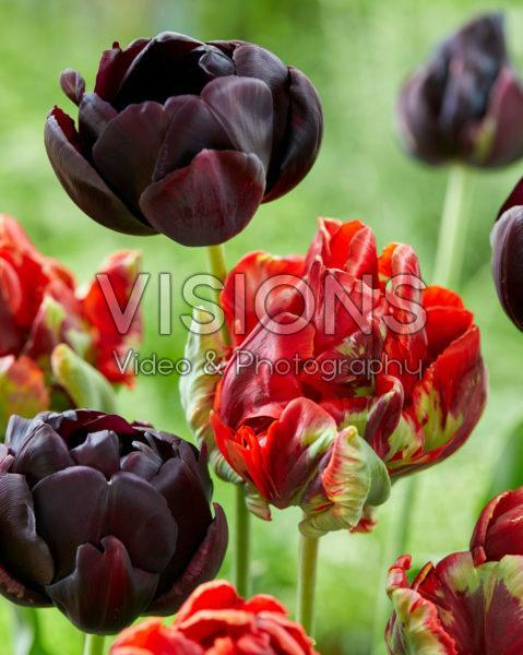 Tulipa Rococo Double, Black Hero