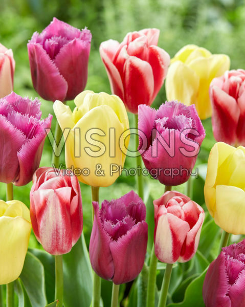Tulipa mix, Louvre, Avocado, Circuit