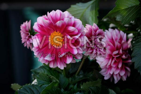 Dahlia LaBella ® Medio Fun Pink Blush