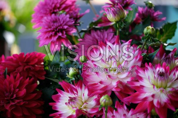 Dahlia LaBella ® Maggiore Rose Bicolour