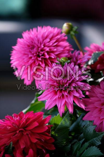 Dahlia LaBella ® Maggiore Deep Rose