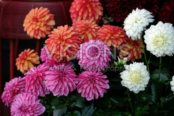 Dahlia LaBella ® Grande collection