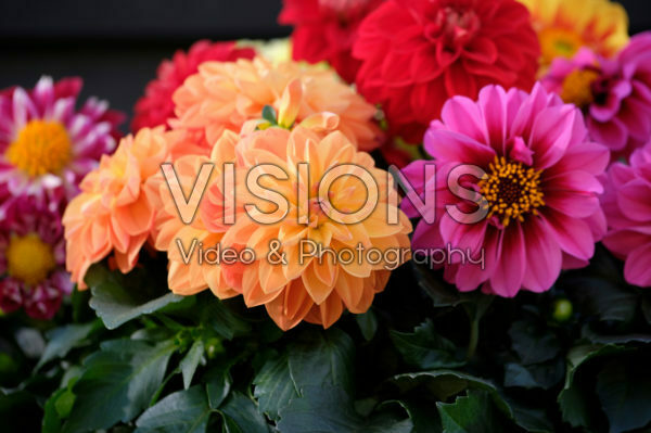 Dahlia LaBella ® Medio mixed