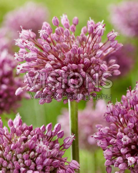 Allium Jasmine