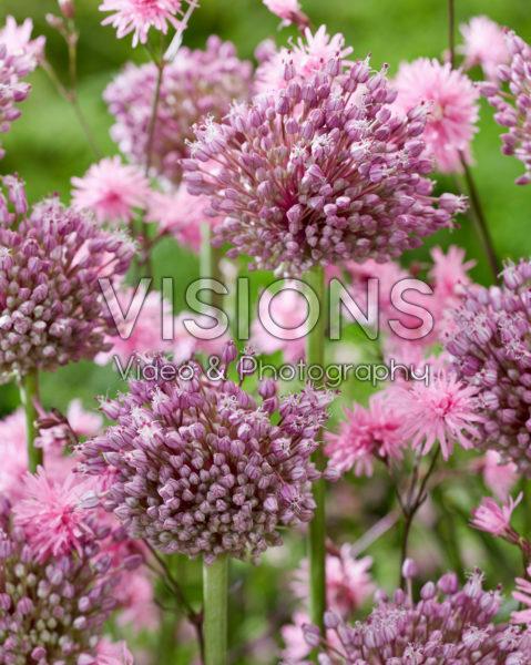Allium Jasmine, Lychnis