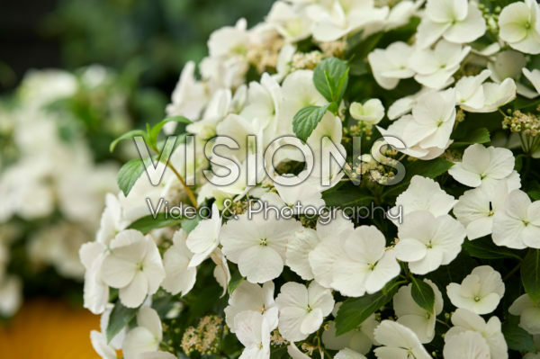 Hydrangea Runaway Bride®