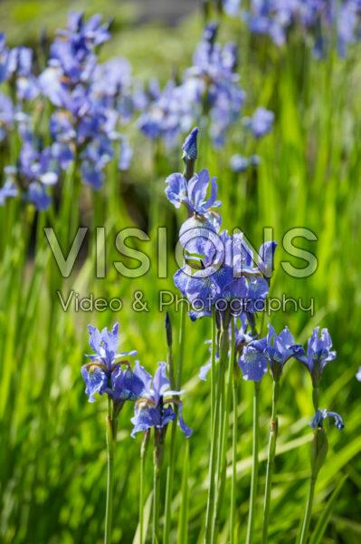 Iris sibirica Fran's Gold