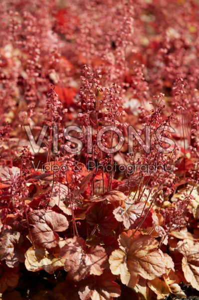 Heuchera Pink Pearls