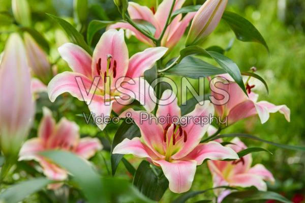 Lilium Cimone