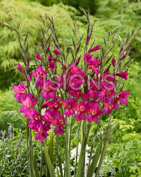 Gladiolus Whistling Jack