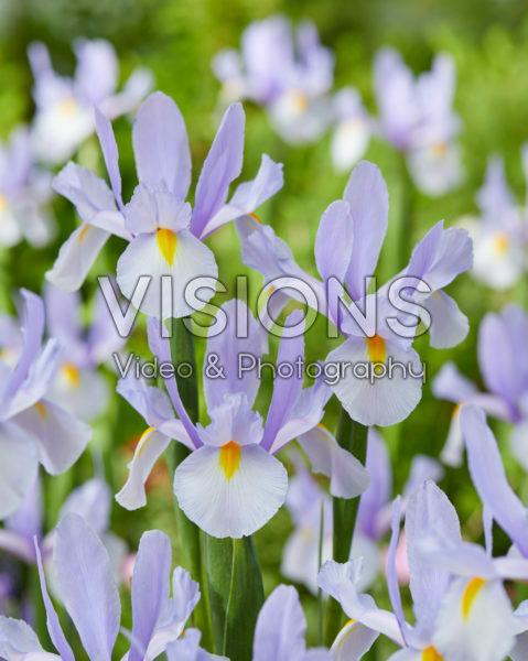 Iris Skylight
