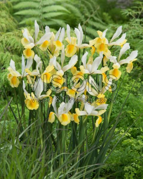 Iris Montecito
