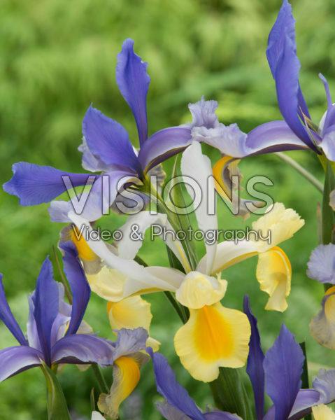 Iris Mysterious Rainbow Mix
