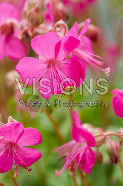 Geranium Rotteveel
