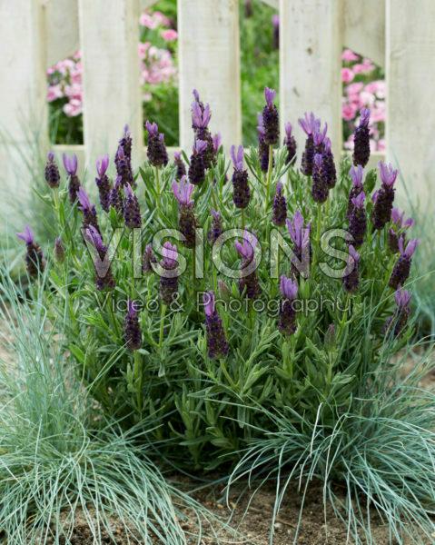 Lavandula stoechas Lamorosia ™ Purple Flag
