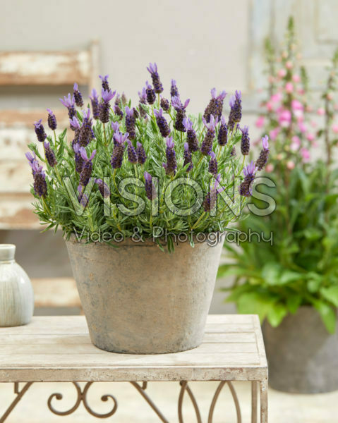 Lavandula stoechas Lamorosia ™ Purple Flag