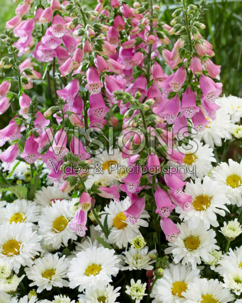 Leucanthemum Broadway Lights, Digitalis Pink Panther
